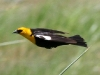 blackbird-yellow-headed-no2-pinetop-5-25-06