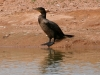 cormorant-double-crested-no1-gwp-04-03-06