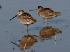 dowitcher-long-billed-no1-gwp-02-01-06