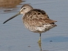 dowitcher-long-billed-no3-gwp-02-01-06