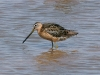 dowitcher-long-billed-no4-gwp-july-06