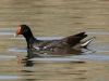 duck-common-moorhen-no1-gwp-04-03-06