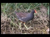 duck-common-moorhen-no2-rio-solado-july-06