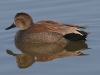 duck-gadwall-no1-gwp-02-11-06