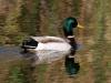duck-mallard-carlsbad-4-15-06