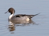 duck-pintail-no2-gwp-02-01-06