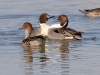 duck-pintail-no4-gwp-012506