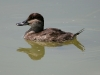 duck-ruddy-female-no2-gwp-04-13-06