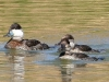 duck-ruddy-pair-gwp-02-06-06