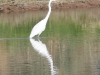 egret-great-no2-gwp-02-01-06
