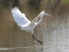 egret-great-no3-gwp-02-03-06