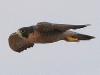 falcon-perigrine-no2-rio-solado-july-2006