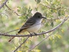 flycatcher-ash-throated-no2-gwp-012606