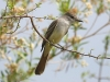 flycatcher-brown-crested-gwp-04-02-06