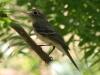 flycatcher-cordilleran-gwp-5-5-06