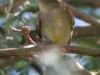 flycatcher-cordilleran-no1-gwp-6-3-06