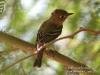 flycatcher-cordilleran-no2-gwp-6-3-06