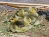 geese-baby-canadian-asu-biz-park-spring-2006
