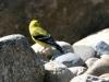 goldfinch-american-kelowna-2006