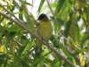goldfinch-lesser-gwp-04-28-06