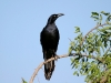 grackle-great-tailed-no2-gwp-04-29-06
