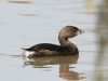 grebe-pie-billed-gwp-02-03-06