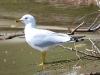 gull-ring-billed-no1-kelowna-5-13-06