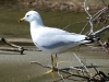 gull-ring-billed-no2-kelowna-5-13-06