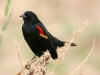 blackbird-red-winged-maricopa-farms-03-31-06