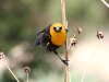 blackbird-yellow-headed-no1-pinetop-5-25-06
