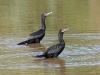 cormorant-neotropic-no1-gwp-10-15-06