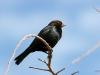 cowbird-brown-headed-gwp-03-31-06