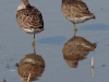 dowitcher-long-billed-no2-gwp-02-01-06