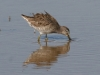 dowitcher-long-billed-no4-gwp-02-01-06