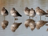 dowitcher-long-billed-no5-gwp