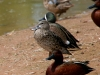 duck-blue-winger-teal-gwp-04-13-06