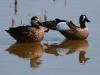 duck-blue-winger-teal-no1-gwp-04-11-06