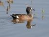 duck-blue-winger-teal-no2-gwp-04-11-06