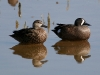 duck-blue-winger-teal-no3-gwp-04-11-06