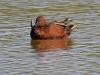 duck-cinnamin-teal-gwp-04-011-06