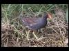 duck-common-moorhen-no2-rio-solado-july-06