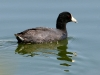 duck-coot-gwp-02-28-06