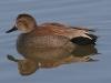 duck-gadwall-no1-gwp-02-11-06