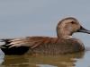 duck-gadwall-no2-gwp-04-02-06