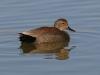 duck-gadwall-no3-gwp-02-11-06