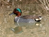 duck-green-wing-teal-no1-gwp-02-09-06