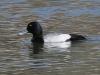 duck-lesser-scaup-gwp-03-21-06