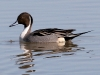 duck-pintail-gwp-02-01-06