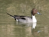 duck-pintail-no3-gwp-012506