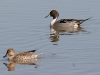 duck-pintail-no5-gwp-02-01-06